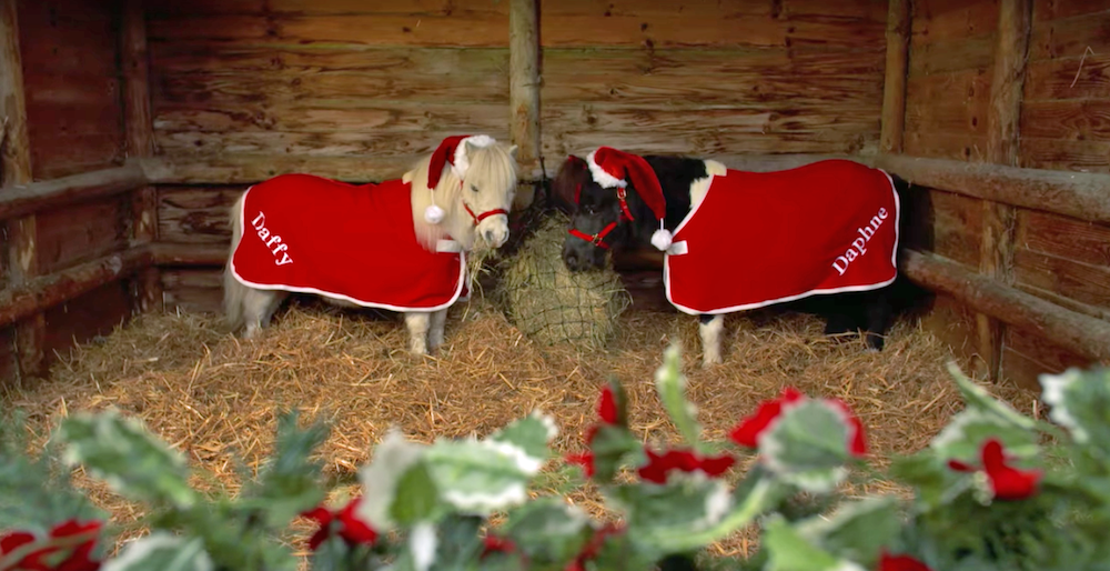Shetland Pony Pair, Daffy and Daphne, Don Their Holiday Best