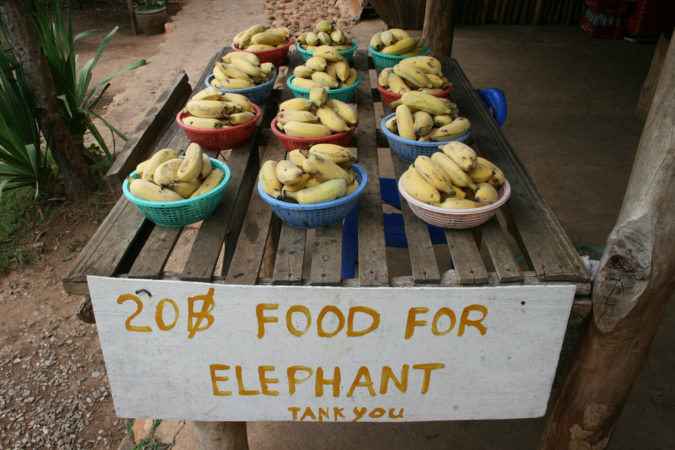 "Feeding an elephant creates ""merit"" according to Buddhist teachings. (flickr.com/Eli Duke)."