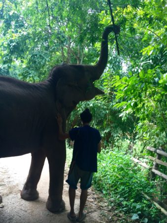 A Golden Triangle elephant and her mahout seek out some bamboo during a daily walk.