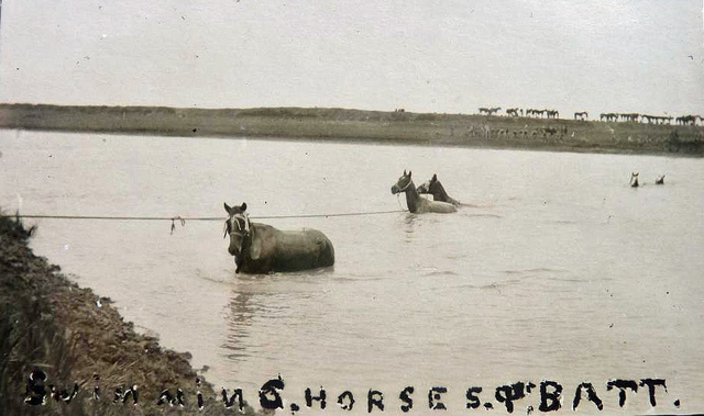 flickr.com_Aussie-mobs_WW1-Horses-FREE