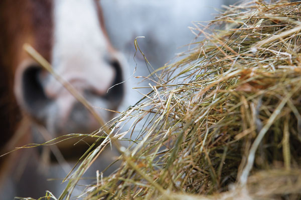 horse-eating-hay-close-up