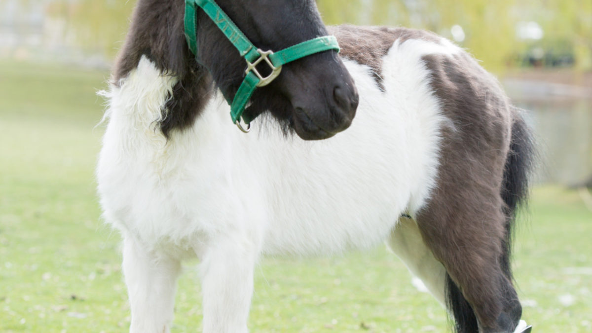 Shine The Mini Horse Gets A Prosthetic Hoof And A New Lease On Life
