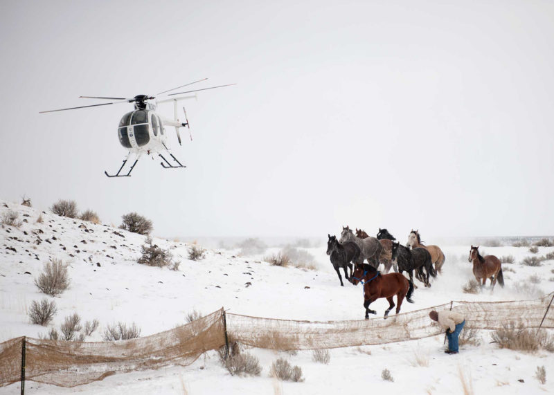 The helicopter gives the final push into the gather site as a wrangler awaits behind the jute. These wild horses were gathered Jan. 12 from the Star Ridge portion of the Owyhee HMA. Approximately 150 wild horses will be gathered from this area where mares will be treated with the PZP fertility control agent and released. Yearlings will be transported to Palomino Valley Adoption Center and will be prepared for adoption. (flickr.com/BLM Nevada)
