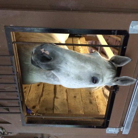 Fezzik settled safety in his stall at GMHA (Courtesy of the author.)