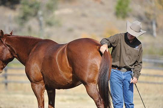 Jonathan checks his horse Hal to see if he's holding tension in his tail—he knows Hal is tense when his tail is clamped to his rump. ©Robin Duncan